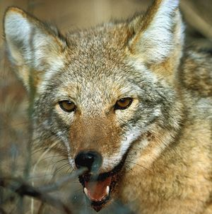 coyote2small