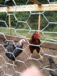 rooster and hen1