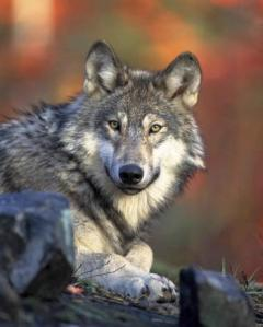 gray-wolf-head-canis-lupus-436x544