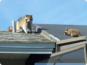raccoons-on-roof