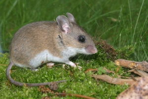 white_footed_mouse2