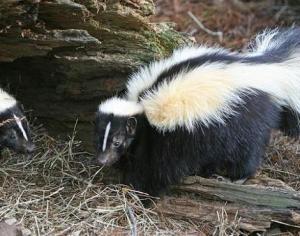 skunk6