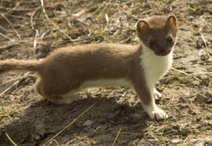 short_tailed_weasel