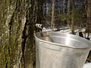 maple-syrup-season
